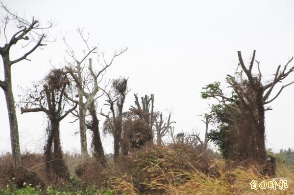 嘉義縣府運用前瞻經費4000萬元將縣道168線中央分隔島移植原有樹木到農業綜合園區,但存活率不佳。(記者林宜樟攝)