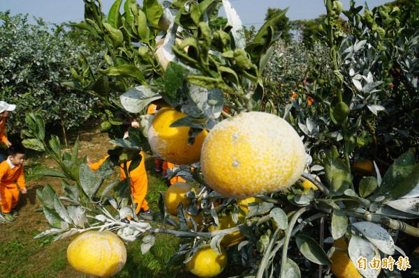 斗六茂谷柑今年產量略減,但果實較大,頂級貨量增。(記者詹士弘攝)