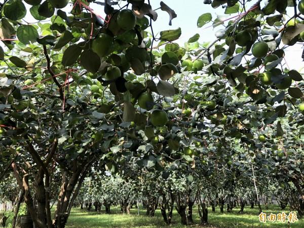 珍愛蜜棗果樹強勢,有越來越多果農投入種植。(記者羅欣貞攝)