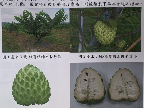 鳳梨釋迦新品種綠寶。(記者張存薇翻攝)