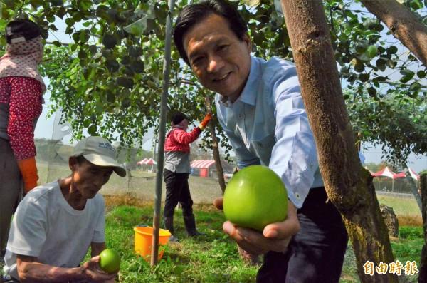林內雪蜜棗進入採收期,品質產量均優。(記者林國賢攝)