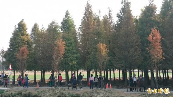 六甲落羽松變的更紅,每天都有遊客來賞遊。(記者楊金城攝)