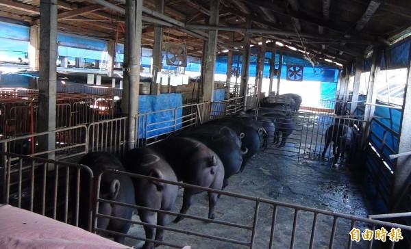 彰化境內有仍有近3萬頭豬餵廚餘。(記者陳冠備攝)