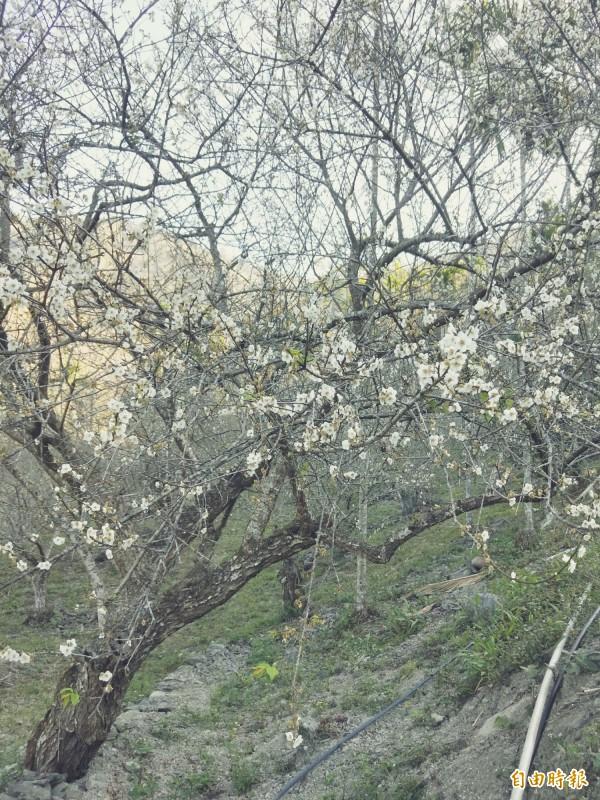 受暖冬影響,寶來地區的梅花延至近日才綻放枝頭。(記者黃佳琳攝)