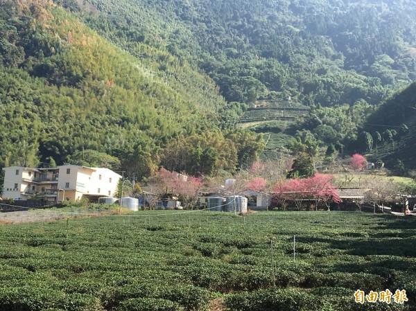 受暖冬影響,信義鄉草坪頭櫻花提前綻放。(記者劉濱銓攝)
