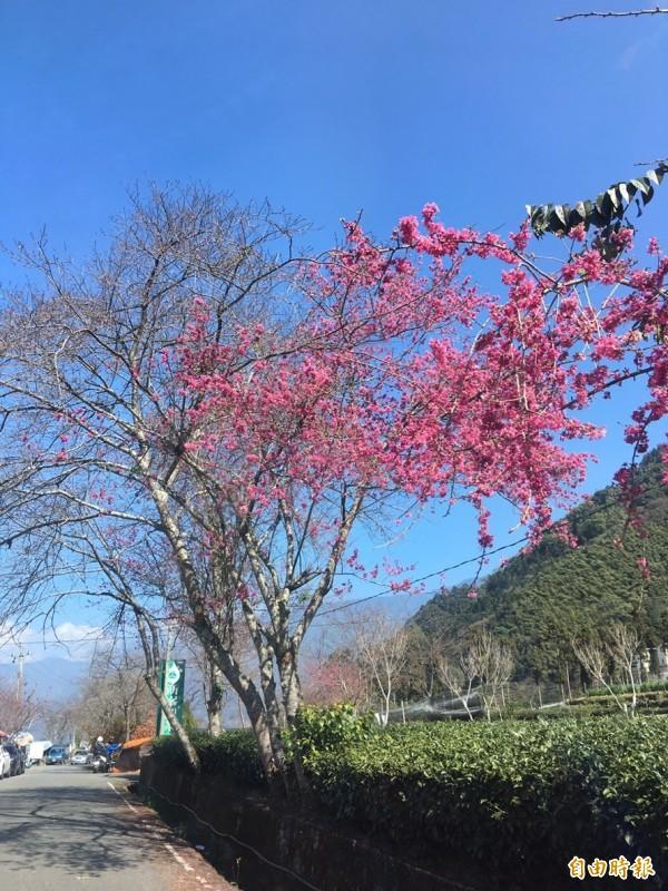 信義鄉草坪頭櫻花提前綻放,在翠綠茶園烘托下,桃紅櫻花更顯豔麗。(記者劉濱銓攝)