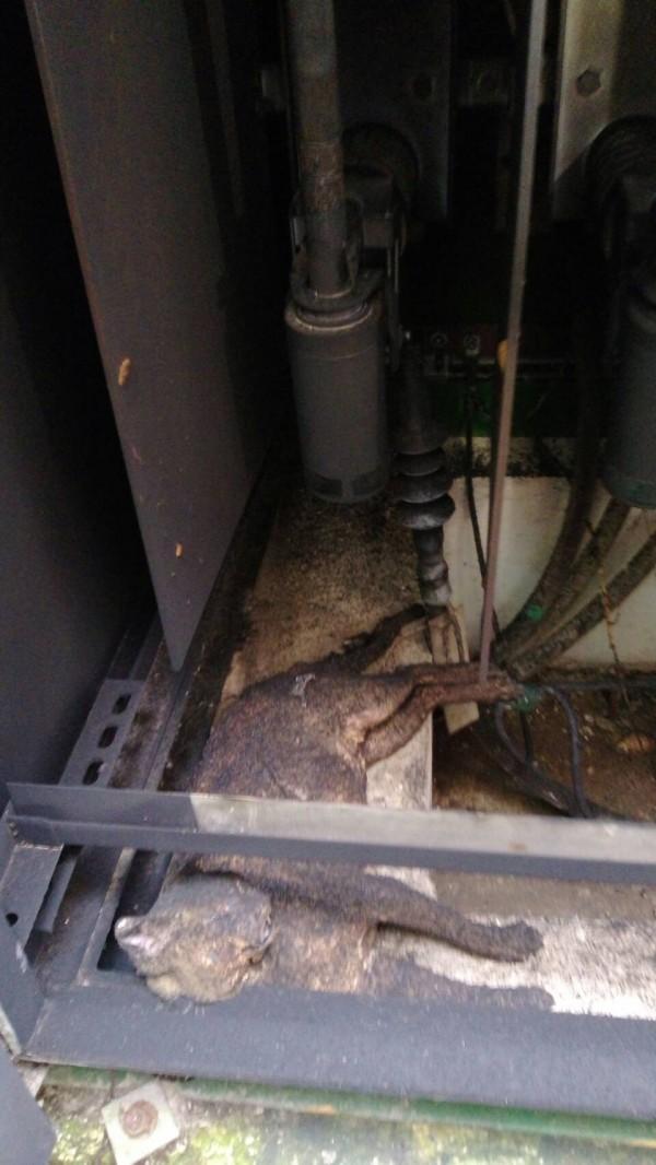 桃園市楊梅區今早驚傳有一隻疑是石虎的動物焦屍在變電箱內。(呂芳盛提供)