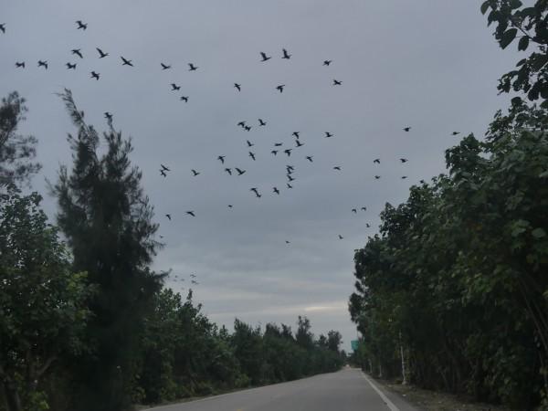 金門傍晚時分行經慈湖路段,可以看見「黑衫軍」鸕鶿成群淩空而過。(記者吳正庭攝)