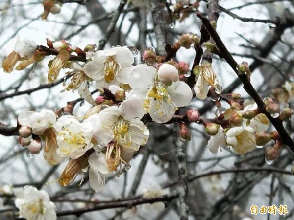 今年因暖冬又水氣不足,梅花開花率僅一成。(記者陳文嬋攝)