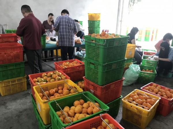 國產柑橘品質優良且農藥殘留風險低,農業局請消費者安心購買食用。(台中市政府提供)