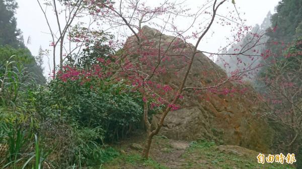 受到暖冬影響,溪頭自然教育園區,已有櫻花已開始綻放。(記者張協昇攝)