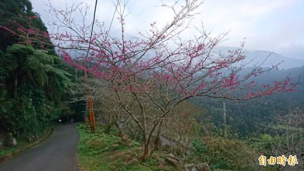 受到暖冬影響,溪頭自然教育園區,已有櫻花已開始綻放,為園區增添幾分浪漫氣息。(記者張協昇攝)
