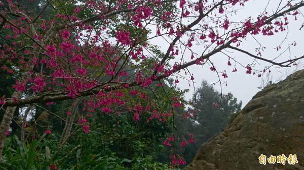 溪頭自然教育園區巨石前桃紅色櫻花綻放。(記者張協昇攝)