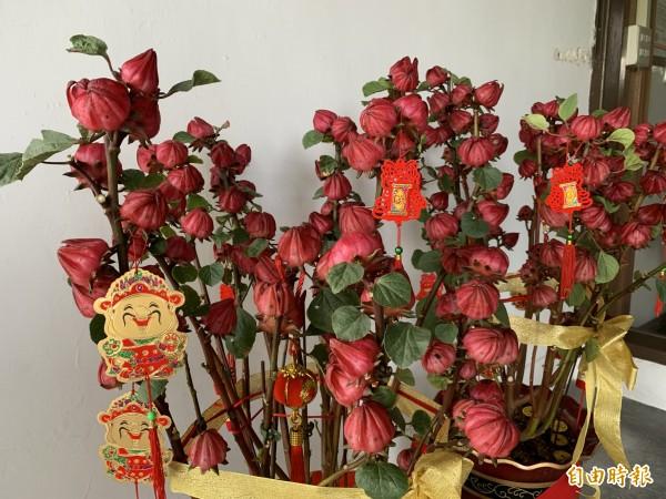 台東農改場研究調節產期讓洛神變身為春節應景盆花。(記者張存薇攝)