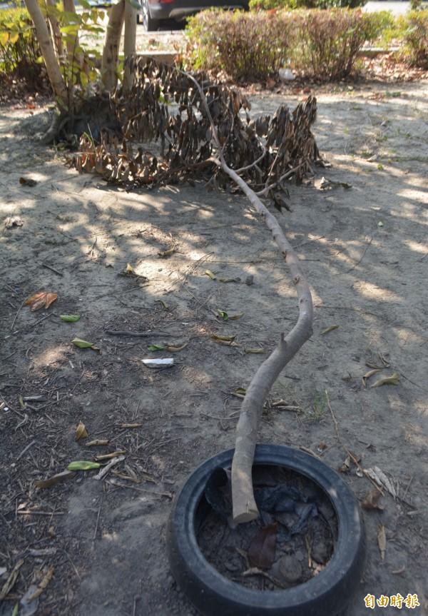 太平區豐年公園裡的樹木,遭人惡意從樹幹底部鋸斷,整棵樹已經死掉枯黃。(記者陳建志攝)