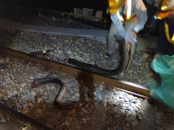 南迴線發現被輾斃的5米外來種網紋蟒。(記者蔡宗憲翻攝)