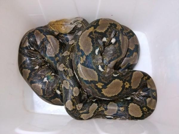 網紋蟒是全世界數一數二的大型蟒蛇,以前是進口寵物,但去年開始被列入保育類。(記者蔡宗憲翻攝)
