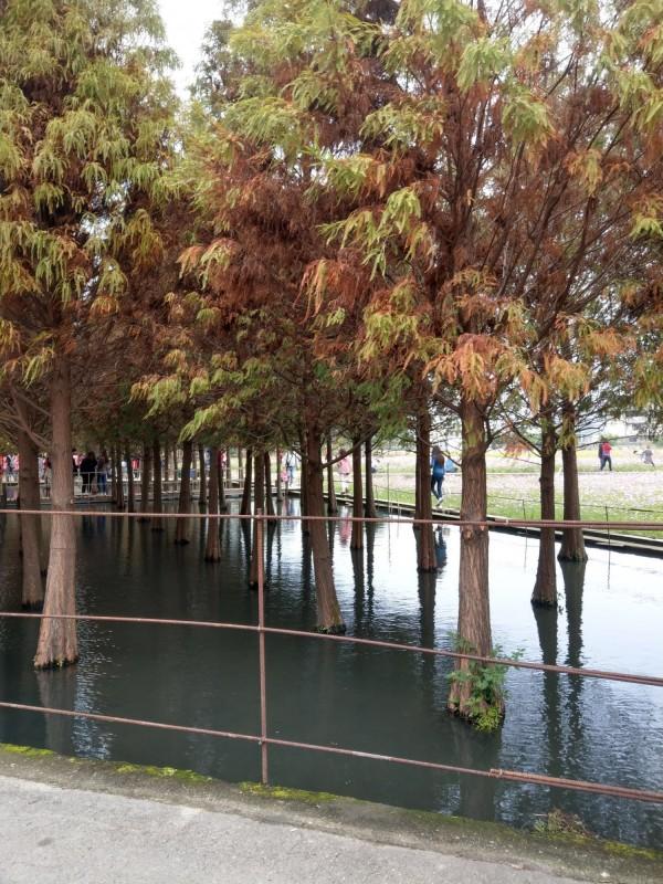 落羽松秘境內鋪設木棧道,可悠閒漫步欣賞水面倒影。(記者許國楨翻攝)