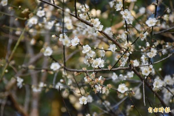 角板山園區內雪白梅花正盛開。(記者李容萍攝)