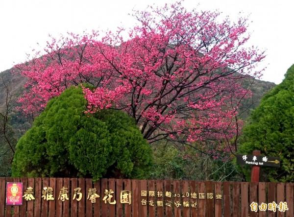 復興區北橫公路沿線部分山櫻花已陸續開出粉紅櫻花。(記者李容萍攝)