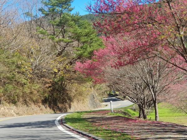武陵農場櫻花季即將開跑,農場內已可見處處櫻紅。(和平分局提供)