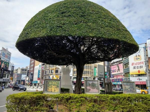 嘉義市噴水圓環附近的榕樹被修剪成有如香菇頭。(嘉義市環保局提供)