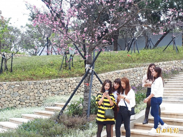 大年初一來走春!新竹市新竹公園的河津櫻花已悄悄綻放,吸引民眾前往走春賞櫻。(記者洪美秀攝)