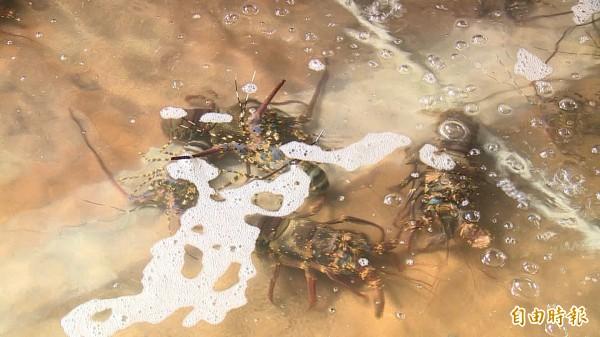 雲海餐廳以龍蝦料理聞名,店內的龍蝦池再度有了生機。(記者王秀亭攝)