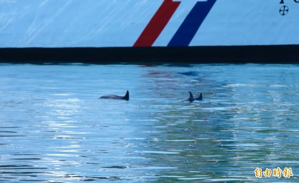 3隻海豚在基隆港內游來游去。(記者林欣漢攝)
