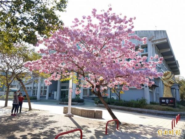 南投草屯藝術大道風鈴木盛開,春節期間成為拍照打卡勝地。(記者劉濱銓攝)