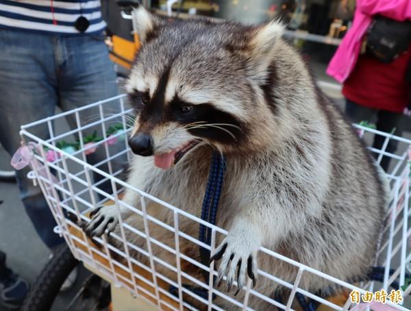 台中日友當舖分享-浣熊「饅頭」坐在專屬的自行車籃子裡。(記者歐素美攝)