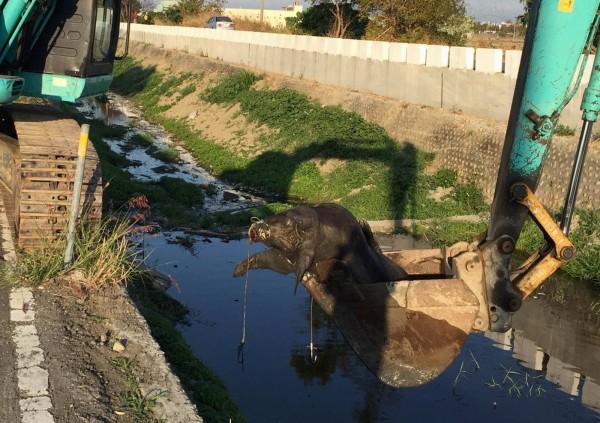彰化縣府單位今天出動怪手將死豬打撈上岸,另覓地點掩埋。(記者湯世名翻攝)