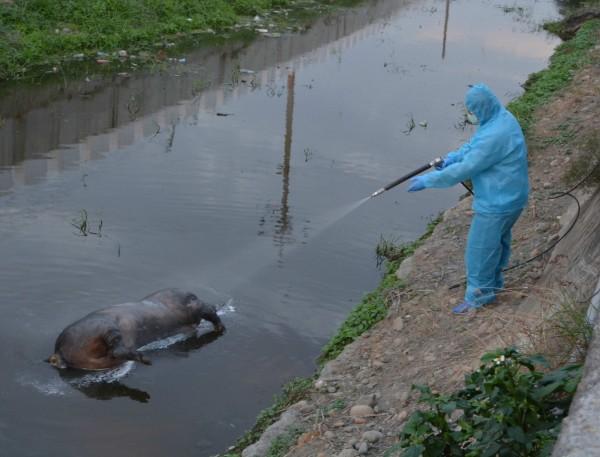 防疫人員昨已先行將死豬噴藥防治。(記者湯世名攝)
