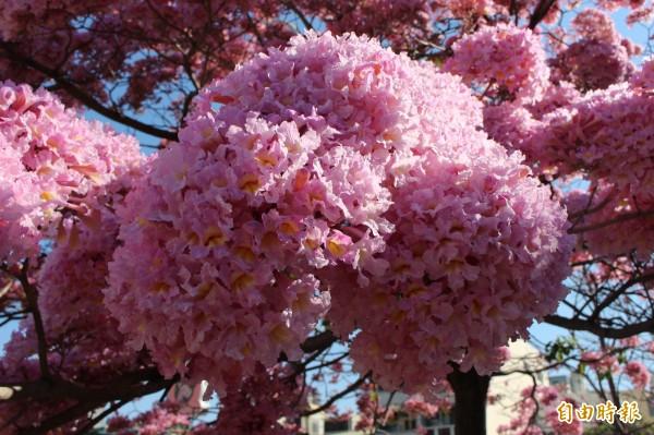洋紅風鈴木紫爆如花球,密密麻麻的花朵,綻放紫色浪漫。(記者張聰秋攝)