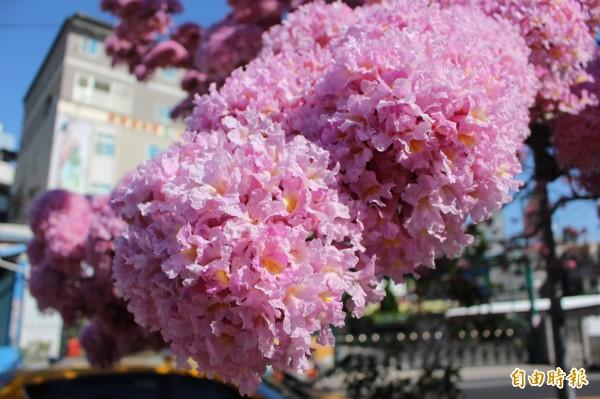 花開得比一團團的繡球花還更豔麗。(記者張聰秋攝)