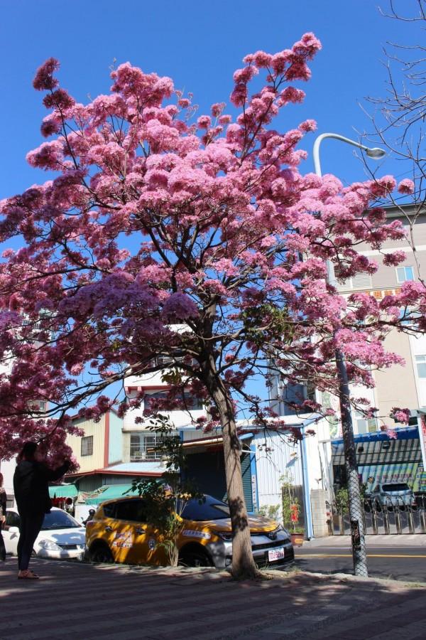 3棵中有1棵開得特別茂盛,茂到整棵樹染上一大片粉紫色的色彩。(記者張聰秋攝)