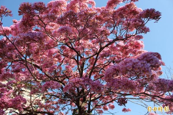 粉紫色浪漫氛圍,與櫻花盛開不相上下。(記者張聰秋攝)