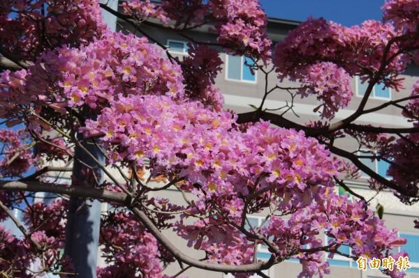 彰化市南郭國小紅磚人行道上洋紅風鈴木目前盛開,成了賞花勝地。(記者張聰秋攝)