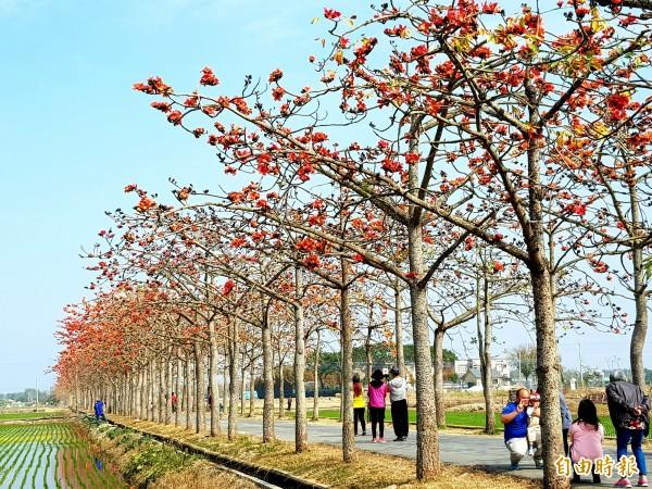 名列全球最美花海街道之一的林初埤木棉隧道,花期提早1個月,花季活動將提前至本週末開始舉行。(記者王涵平攝)