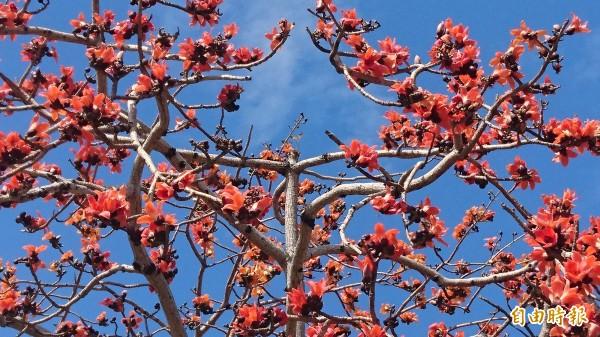 暖冬讓木棉花提早綻放。(記者楊金城攝)