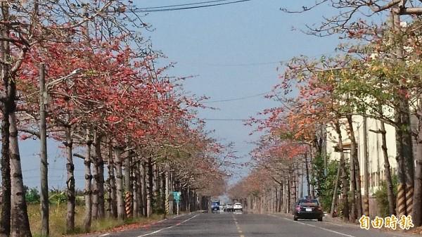 台南將軍區最長達2公里多的南21線木棉花開約2到3成,少數盛開綻放,已可見披上紅色外觀。(記者楊金城攝)