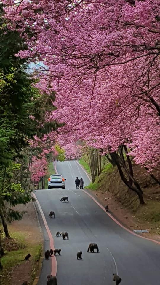 武陵賞櫻入園管制時段將於17日公告,提醒民眾賞櫻小心「猴出沒」。(記者蔡政珉翻攝)