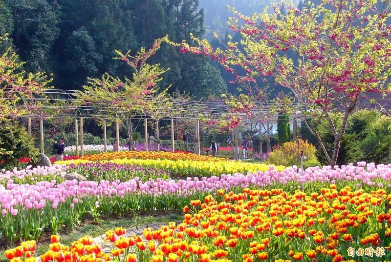 南投縣杉林溪森林生態渡假園區內的鬰金香,綻放五顏六色的花朵,美不勝收。(記者謝介裕攝)