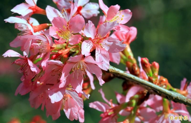 南投縣杉林溪森林生態渡假園區中各種櫻花,因暖冬提早盛開,美不勝收。(記者謝介裕攝)