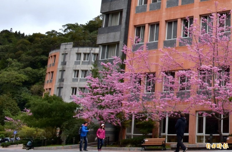 南投縣杉林溪森林生態渡假園區中各種櫻花,因暖冬提早盛開,吸引遊客觀賞。(記者謝介裕攝)