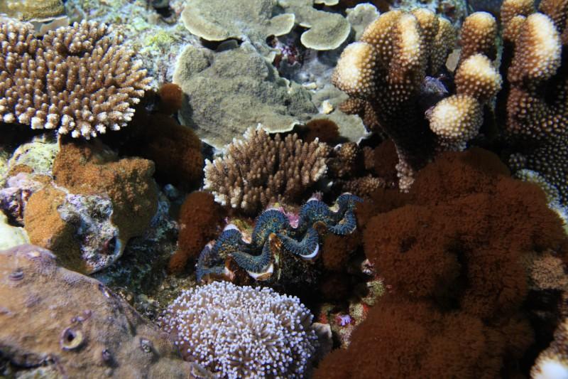 隱身珊瑚之間的硨磲貝。(記者黃明堂翻攝)