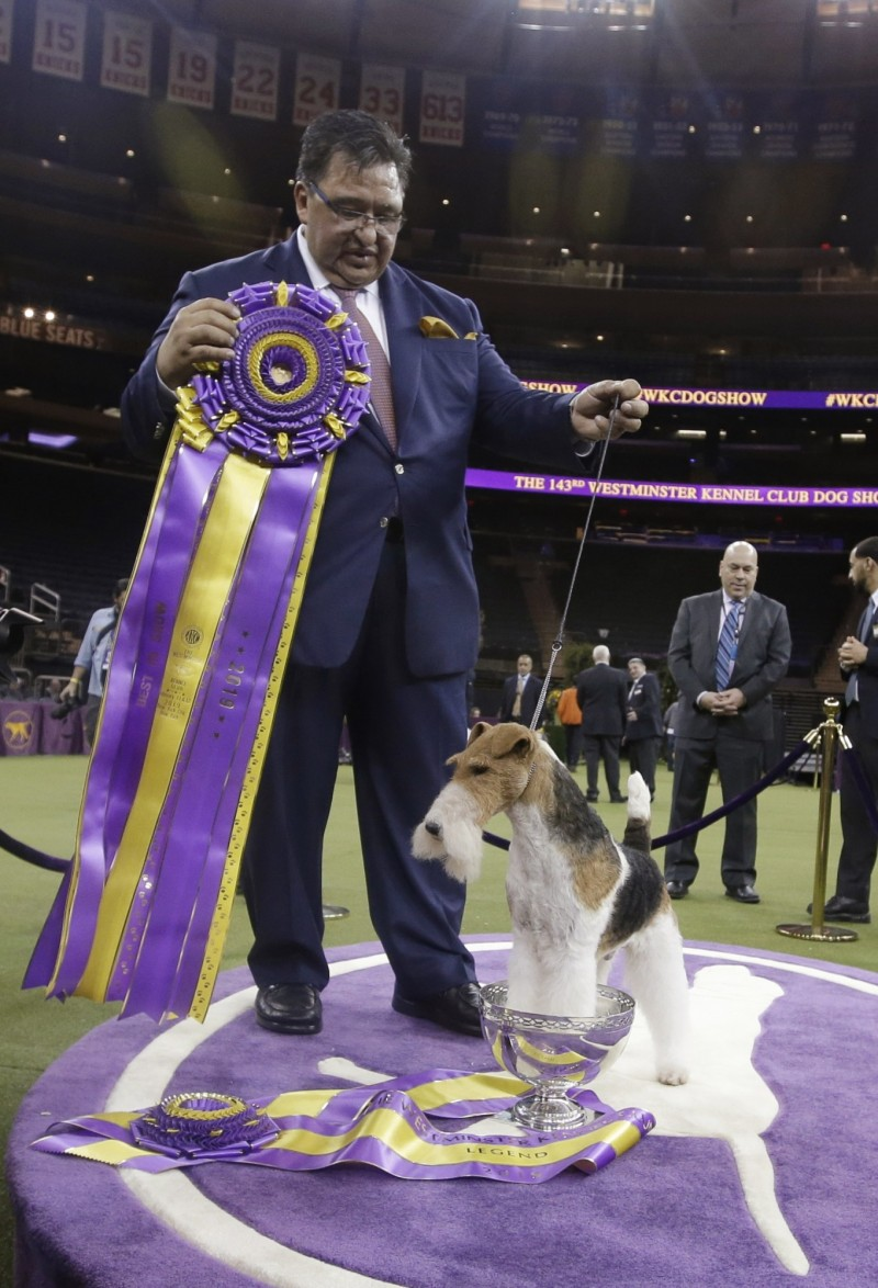 剛毛獵狐㹴是西敏寺犬展賽史上最受歡迎的品種,自1907年以來共獲得15次全場犬場總冠軍(BIS)。(美聯社)