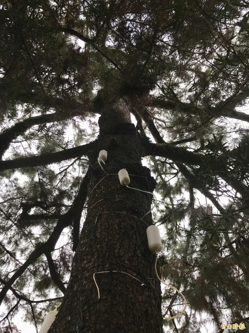 清水岩寺前的二葉松罹松材線蟲病,縣府以滴灌搶救。(記者顏宏駿攝)