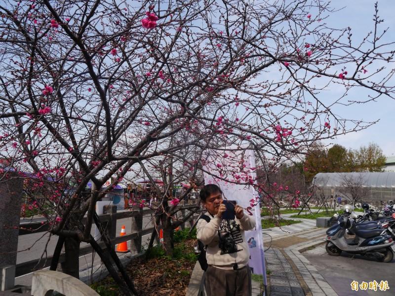 泰安櫻花目前開花率約2成。(記者張軒哲攝)