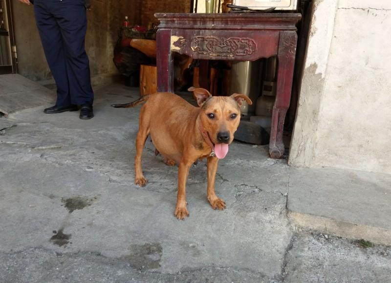 懷孕的比特犬被竊賊偷走後,草屯警方救了牠並將牠送回給主人。(記者陳鳳麗翻攝)
